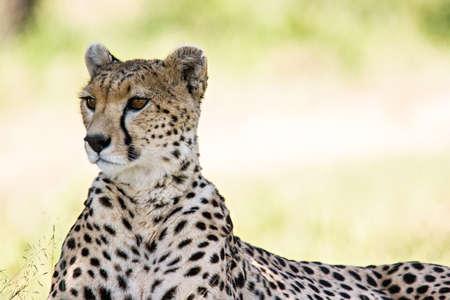 Cheetah portrait in Massai Mara, Kenia.