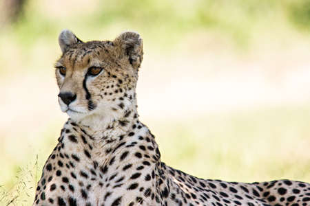 safari game drive: Ritratto del ghepardo in Massai Mara, Kenya. Archivio Fotografico