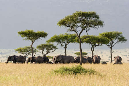 Elephant herd walking through the Savannah in Massai Mara, Kenya. photo