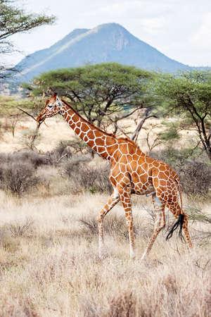 Reticulated Giraffe walking in the Savannah  Samburu, Kenya  Scientific name  Giraffa camelopardalis reticulata photo