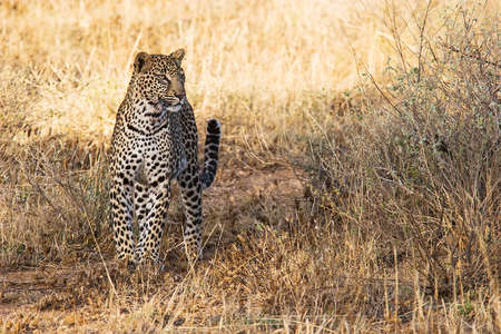 Beautiful leopard in the african savannah  Scientific name   Panthera pardus photo