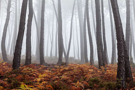 Beautiful view of a forest on a foggy day  photo