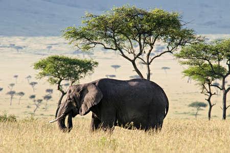 Elephant walking through the Savannah in Massai Mara, Kenya. Фото со стока