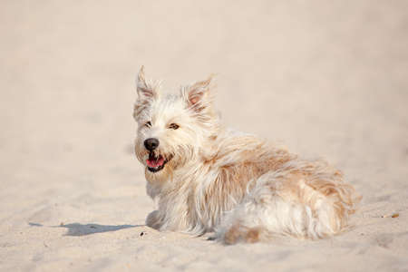 Cute golden dog laying at the beach on a sunny day. Stock Photo