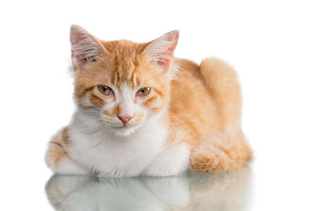 Beautiful orange and white kitten (4 months old), isolated on white. Studio shot.