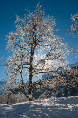Trees in the snow on a bright sunny day in the Swiss Alps.