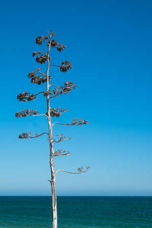 Tree with sparrows against blue sky on the beach. Algarve, Portugal
