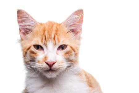 Beautiful orange and white kitten isolated on white Фото со стока