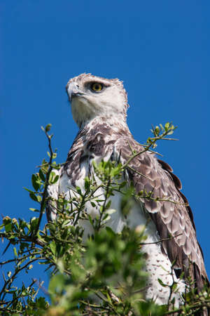 Photo of a Martial Eagle (Polemaetus bellicosus) on a tree in Massai Mara, Kenya.
