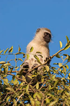 Black faced vervet monkey (Chlorocebus pygerythrus) on a tree in Amboseli, Kenya.