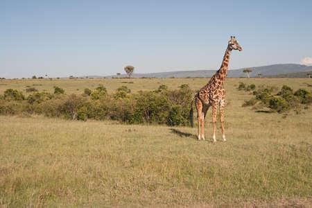 reticulated giraffe: Photo of a reticulated giraffe in the wild, in Masai Mara National Park, Kenya.