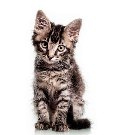 Studio photo of a two months old furry striped kitten, isolated on white. Stock Photo