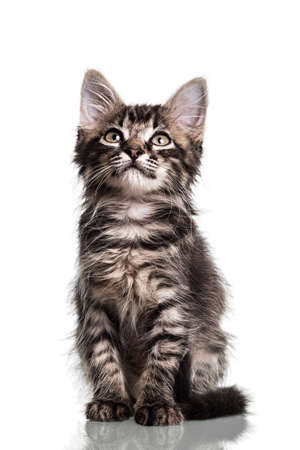 two months: Studio photo of a two months old furry striped kitten, isolated on white. Stock Photo