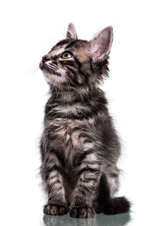 Studio photo of a two months old furry striped kitten looking up, isolated on white.