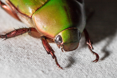close-up Scarab beetle or Anomala grandis on white fabric Stockfoto