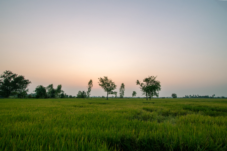 Scen rice paddies,rice field during sunset in summer march,Thailand