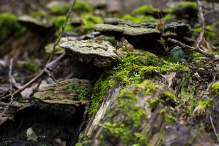 Funghi Mushrooms On Mossy Tree Log Forest Stock Photo