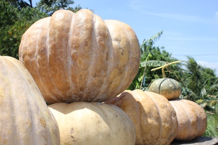 slightly: Pumpkin or squash, a fruit originally from America, crunchy, sweet and slightly sour taste  Stock Photo