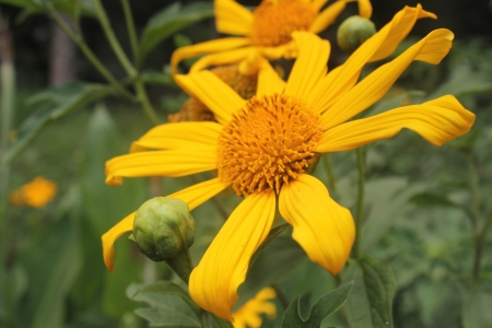 tree marigold: Tree Marigold
