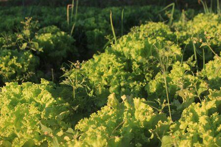 escarola: Vegetable Escarola