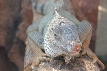 cold blooded: Big white lizard crawling