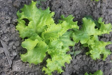 escarola: Planta Escarola