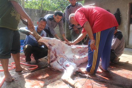 skinning: People skinning a cow that slaughtered for sacrifice on Eid ul-Adha in Indonesia, 15 October 2013