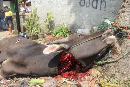 slaughtering: A bovini macellati per il sacrificio di Eid ul-Adha, in Indonesia, 15 ottobre 2013