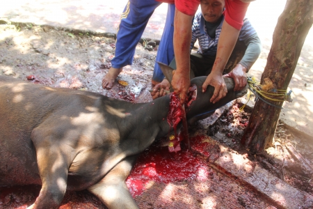 slaughtering: A cattle slaughtered for sacrifice on Eid ul-Adha in Indonesia, 15 October 2013 Editorial