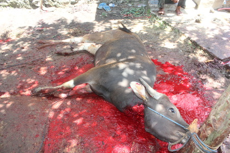slaughtering: A cattle slaughtered for sacrifice on Eid ul-Adha in Indonesia Editorial