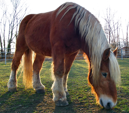 shire horse: Brown Horse Grazing At Sunset Stock Photo