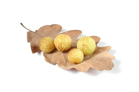 quercus: Cherry galls on oak leaf, caused by gall-wasp (Cynips quercus)