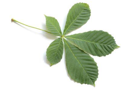 aesculus hippocastanum: Leaf of horsechestnut tree (Aesculus hippocastanum) Stock Photo