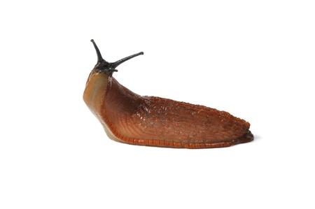 babosa: Macro de Slug española grande (Arion vulgaris) sobre fondo blanco