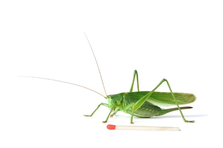 imago: Great Green Bush-Cricket  tettigonia viridissima  with a match to show its size