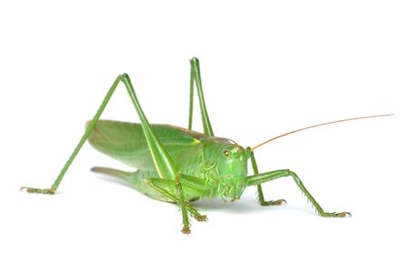 Great Green Bush-Cricket (tettigonia viridissima) isolated on white background photo