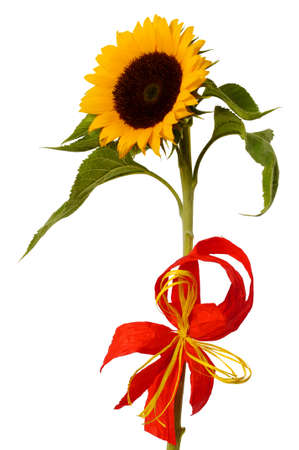 Sunflower with bow on white background Stock Photo - 17378484
