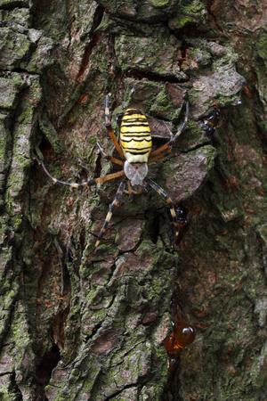 argiope: Macro of the wasp spider (Argiope bruennichi) on a tree.