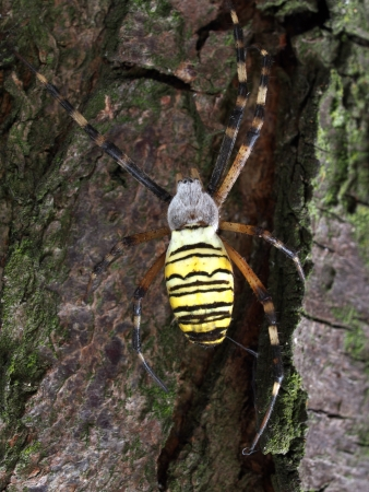 Macro of the wasp spider  Argiope bruennichi  on a tree Stock Photo - 22710380