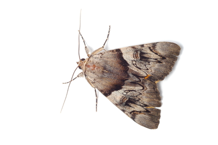 imago: Probably Light Crimson Underwing moth isolated on white background Stock Photo