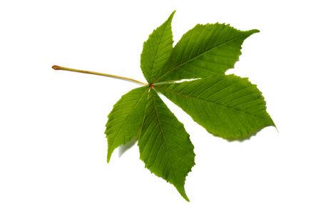 Horse chestnut leaf isolated on white Stock fotó - 28651681