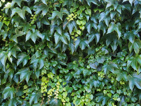 ivy wall: Background made form green ivy leaves