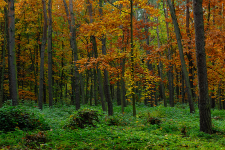 yellow trees: Forest with trees having yellow and orange autumn leaves