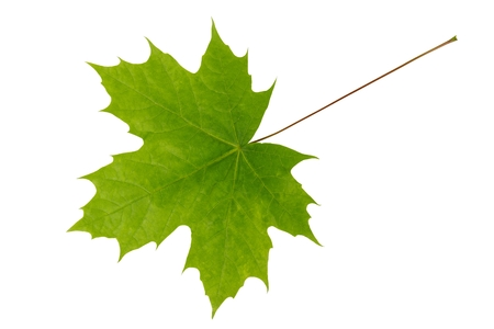 Young, light-green leaf of maple tree