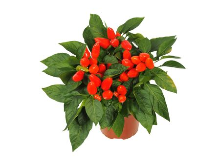 Red cayenne pepper plant i a pot isolated on white background