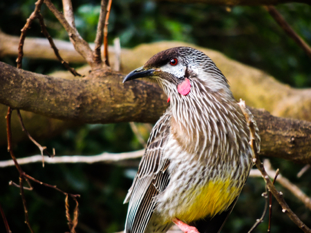 wattle: Wattle Bird Stock Photo