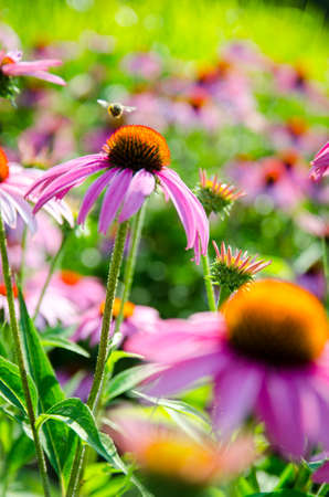 coneflowers: Beautiful coneflowers and a bumblebee Stock Photo