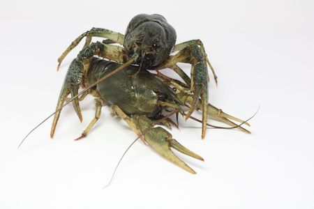 gray, delicious, alive two crayfish lie on each other on a white background with wide apart claws.