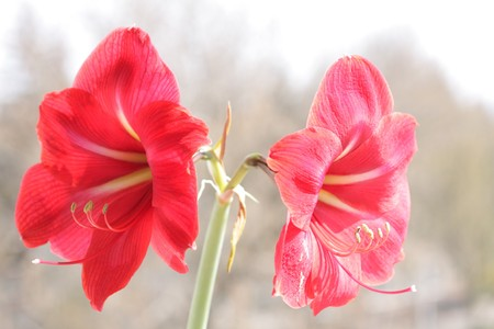 big beautiful red flower with stamen