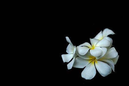 Plumeria flower on a black wood. photo